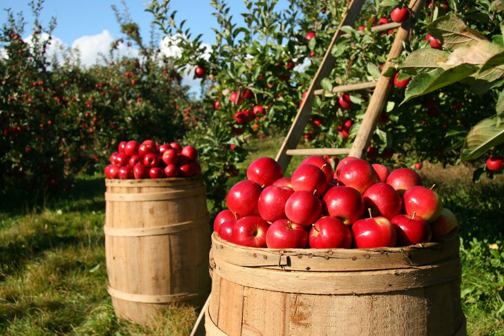 Picture of an apple orchard.